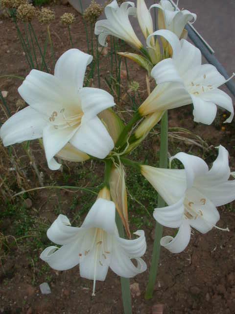 Amaryllis belladonna 39 hathor 39 alba for Amaryllis bulbe conservation